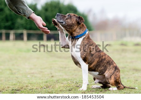Gentle Staffordshire Bull Terrier - stock photo