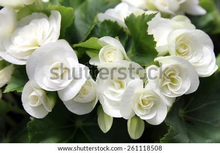 gentle white flowers begonias - stock photo