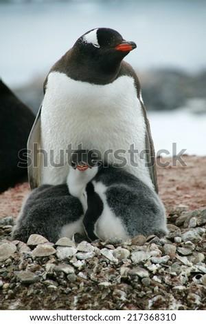 Gentoo Penguin and chicks, Hannah Point, Livingston Island, Antarctica - stock photo