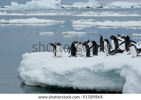 Gentoo penguin band is on the ice against the backdrop of icebergs