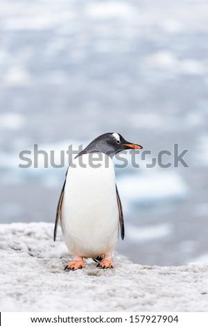 Gentoo penguin close up portrait - stock photo