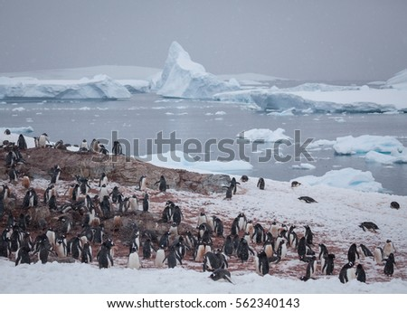 Gentoo Penguin Colony in Falling Snow with Icebergs