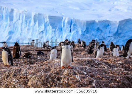 Gentoo penguin colony on the rocks and glacier in the background at Neco bay, Antarctic