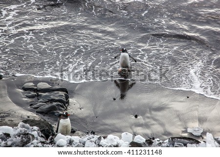 Gentoo penguin coming out of the ocean, Antarctica - stock photo