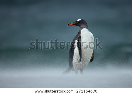 Gentoo penguin during a sand storm
