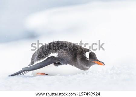 Gentoo penguin eats the snow - stock photo