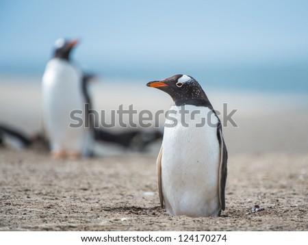Gentoo penguin.  Falkland Islands, South Atlantic Ocean, British Overseas Territory - stock photo