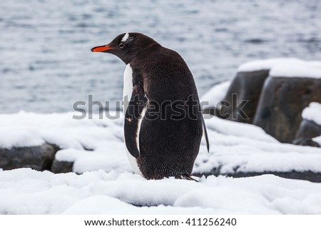 Gentoo penguin from the back on snow against ocean, Antarctica - stock photo