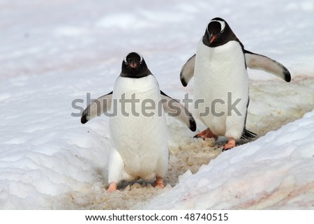 Gentoo penguin highway, Antarctic Peninsula, Antarctica