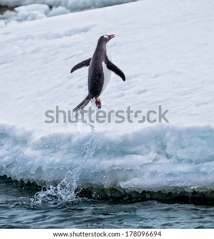 Gentoo penguin jumps out of the water onto land - stock photo
