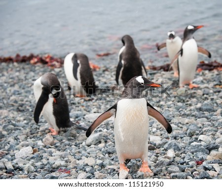 Gentoo penguin just after the swimming - stock photo