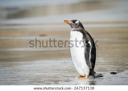 Gentoo penguin on the Falkland Islands - stock photo