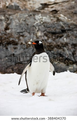 Gentoo penguin or pygoscellis papua is looking on the left side in Antarctica. - stock photo