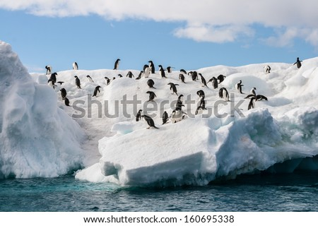 Gentoo Penguin playtime at your local iceberg, Antarctica - stock photo