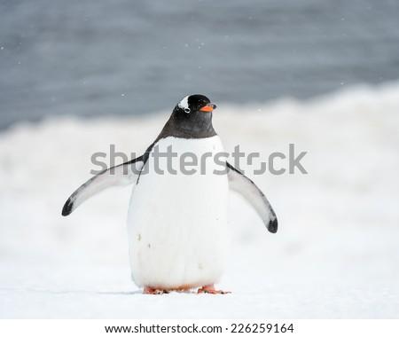 Gentoo penguin portrait on the snow - stock photo