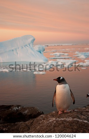 Gentoo penguin (Pygoscelis papua) at sunset on the background of the iceberg. - stock photo