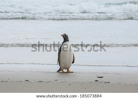 Gentoo Penguin - Pygoscelis papua - Falkland Islands - Gentoo Penguin on the beach / Proud To Be A Gentoo Penguin - stock photo