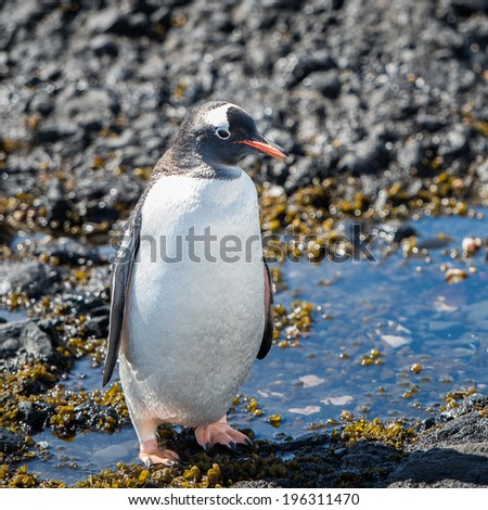 Gentoo Penguin (Pygoscelis papua) in Antarctica - stock photo