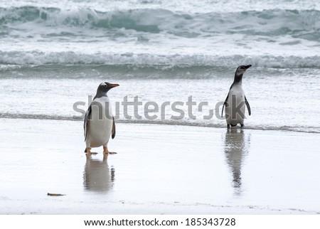 Gentoo Penguin - Pygoscelis papua - Magellanic Penguin - Spheniscus magellanicus - Falkland Islands / Gentoo Penguin And Magellanic Penguin On The Beach - stock photo