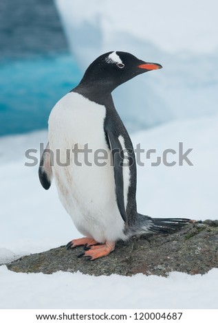 Gentoo penguin (Pygoscelis papua) on the background of the iceberg.