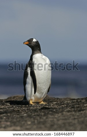 Gentoo penguin, Pygoscelis papua, single bird by water, Falklands