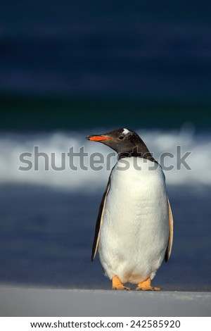 Gentoo penguin, Pygoscelis papua , standing on the white beach with dark blue sea wave, Falkland Islands