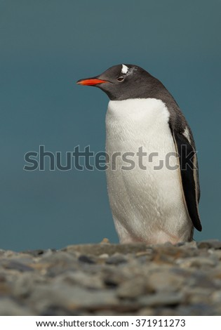 Gentoo penguin standing on the beach with clean blue background, South Georgia Island, Antarctica