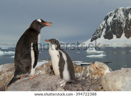 Gentoo penguin standing on the rock with chick, snowy mountains in background, Antarctic Peninsula - stock photo