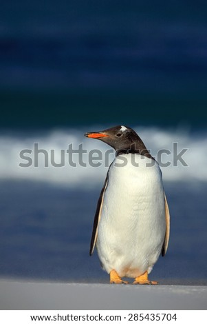 Gentoo penguin, standing on the white beach with dark blue sea wave, Falkland Islands