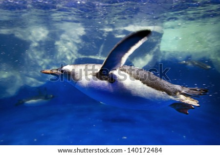 Gentoo Penguin swim underwater in the Arctic ocean - stock photo