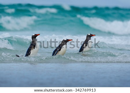 Gentoo penguin, three water bird in the ocean, swimming and jumping in the sea, Falkland Island