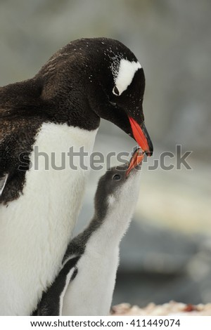Gentoo Penguin with chick - stock photo