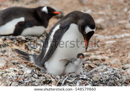 Gentoo penguine with chicks in the nest