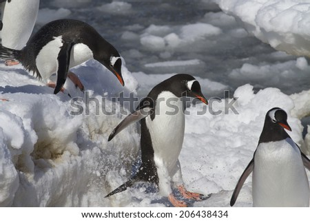 Gentoo penguins are  jump from big ice floe to ice snow - stock photo