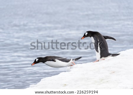 Gentoo penguins dive from the ice rock into the water - stock photo