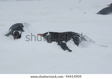 Gentoo penguins in the snow covered ice. - stock photo
