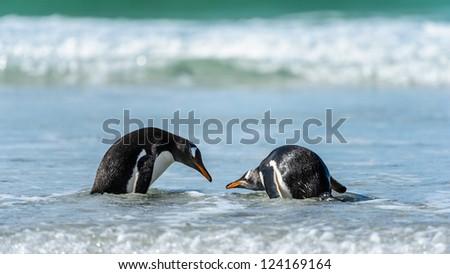Gentoo penguins in the water.  Falkland Islands, South Atlantic Ocean, British Overseas Territory - stock photo
