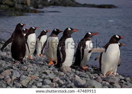 Gentoo penguins looking at the ocean, Antarctic Peninsula, Antarctica - stock photo