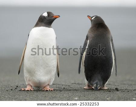 Gentoo penguins looking in opposite directions - stock photo