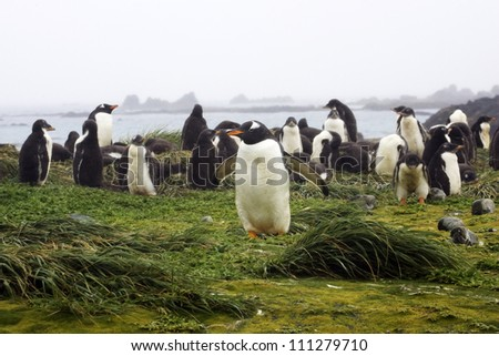 Gentoo Penguins, Macquarie Islands, Australia