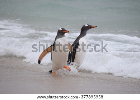 Gentoo penguins playing in the surf