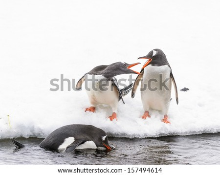 Gentoo penguins (Pygoscelis papua) on the ice hill - stock photo
