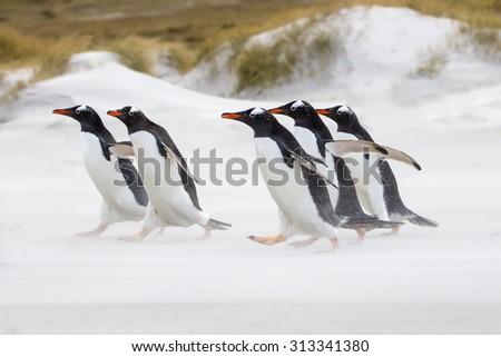Gentoo Penguins running towards the sea. Falkland Islands. - stock photo