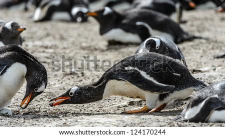 Gentoo penguins seek food.  Falkland Islands, South Atlantic Ocean, British Overseas Territory - stock photo