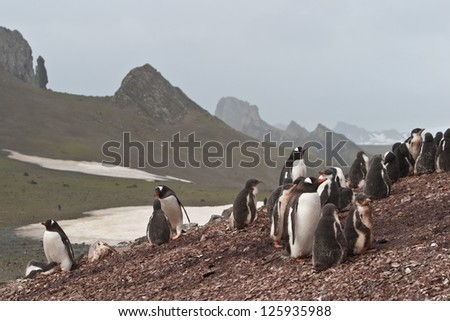 Gentoo penguins stand in a rookery within the South Shetland Islands.  This is a cold and windy part of the planet but penguins have adapted to this type of environment. - stock photo