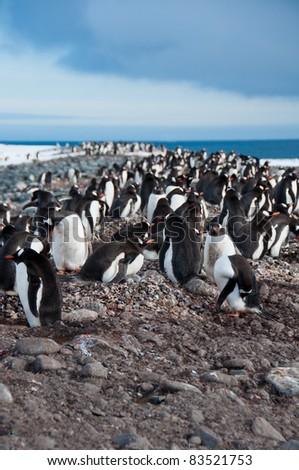 Gentoo Penguins. This colony at Yankee Harbor on the Antarctic Peninsula numbers around 4000 pairs. - stock photo