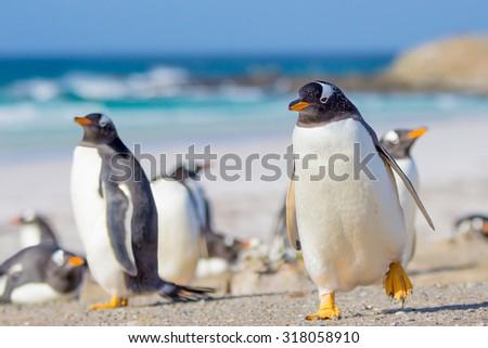 Gentoo Penguins, Volunteer Point, East Falkland, Falkland Islands. - stock photo