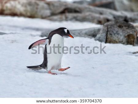 Gentoo walking through snow - stock photo
