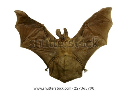 Genuine dead and dried VAMPIRE BAT for sale that You can own. How cool is that. Vampire bats are bats whose food source is blood, a dietary trait called hematophagy.  - stock photo