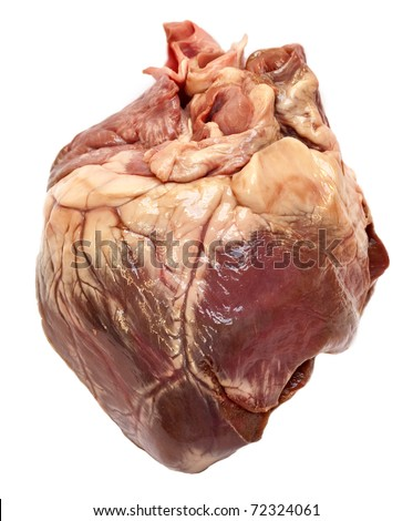 Genuine swine heart isolated on white background. Very similar to human heart.